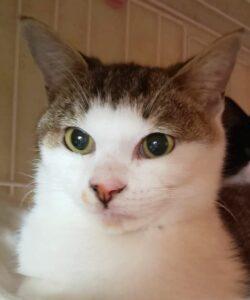 すあま商會の猫 しんちゃん